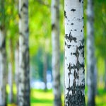 Birch Tree